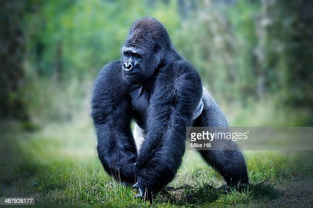 Male Western Lowland Gorilla walking