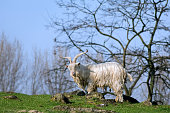 Male white Kempense goat / Kempens goat / Campinois goat Belgian domestic goat breed with big horns in field