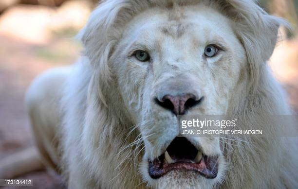 A male white lion is pictured at the zoo of the French eastern city of Amneville on July 08 2013 AFP PHOTO / JEANCHRISTOPHE VERHAEGEN