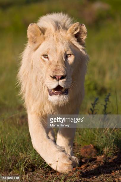 Male White Lion(Panthera leo).South Africa