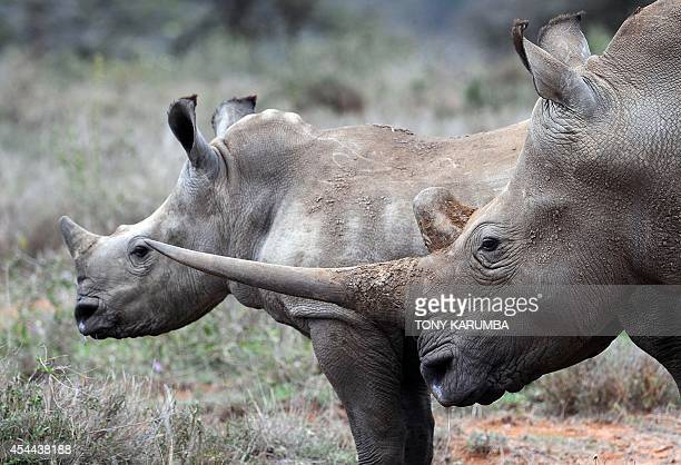 A male WhiteRhino and a calf are seen on August 7 2014 at the Ol Jogi rhino sanctuary in the Laikipia county approximately 300 kilometres north of...