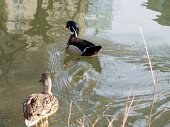 Male and female ducks of different species in pond in daytime.