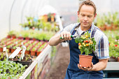Male Worker Pruning Potted Cherry Tomato Plant