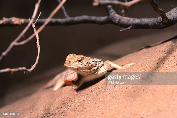 Male Yuman desert fringetoed lizard in breeding coloration on dune sand Uma notata rufopunctata Synonyms include Uma rufopunctata and Uma notata...