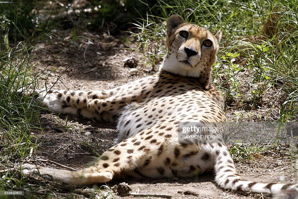 Malik, a male cheetah and father of four newborns, rests in the grounds of the African Reserve (Réserve Africaine ) wildlife park in Sigean, southern France on May 24, 2016. / AFP / RAYMOND
