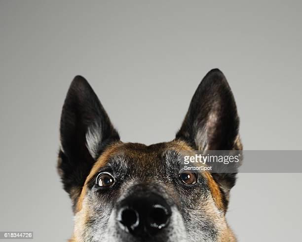Malinois dog studio portrait