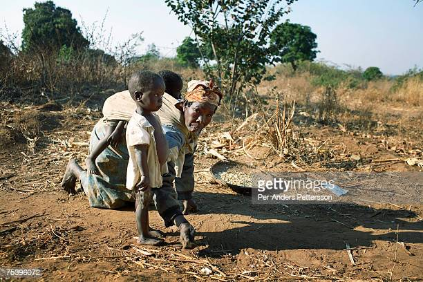 Maliyasa Notice age 70 collects maize on the ground with her grandchildren on August 18 2006 in Mphandula village about 30 miles outside Lilongwe...