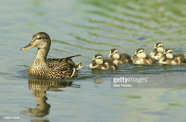 mallard, anas platyrhynchos, female with family, june, glos.