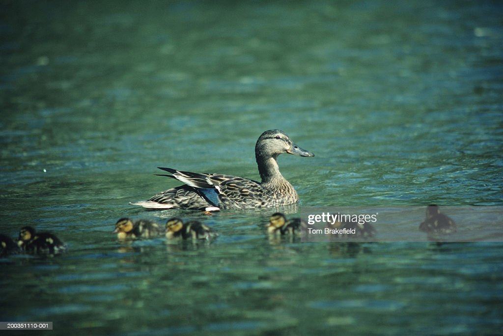 Mallard duck hen with ducklings in Spring, North America : Stock Photo