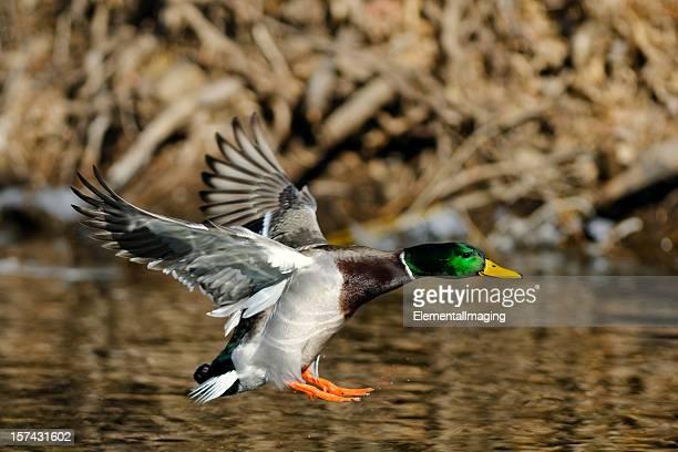 Mallard (Anas platyrhynchos) Duck Landing on Pond or River