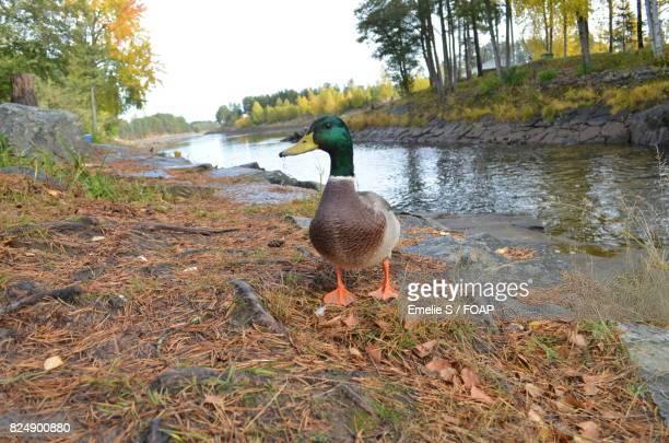 Mallard duck near stream