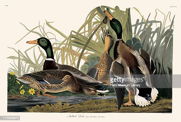 Mallard Duck Plate 11 in John James Audubon's Birds of America late 1830s