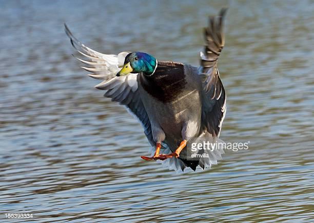 Canard colvert préparer à la terre sur l'eau