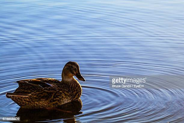 Mallard Duck Swimming In Lake