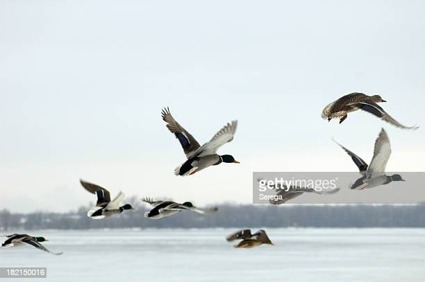 Mallard ducks in flight over water