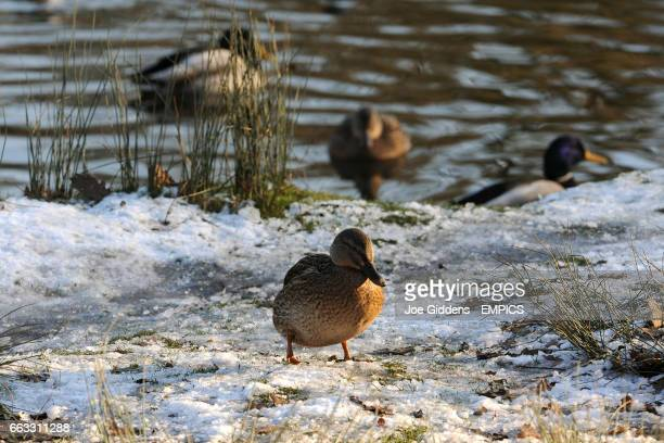 Mallard ducks on the bank of a lake after continuing heavy frosts and below freezing temperatures cover the Bradgate Country Park Charnwood Forest...