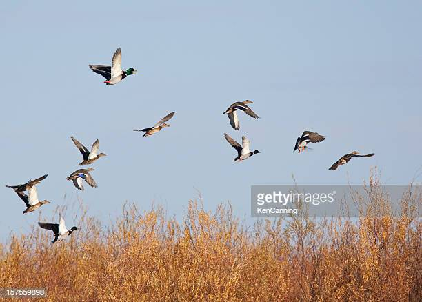Les canards malards prenez votre vol