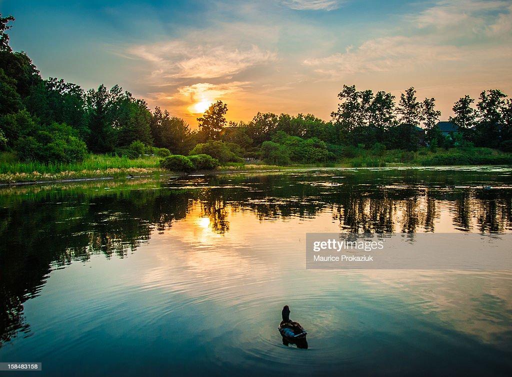 Mallard enjoying the sunset
