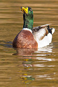 Colorful mallard in water eating with nice reflection