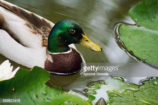 Mallard in the pond : Stock Photo