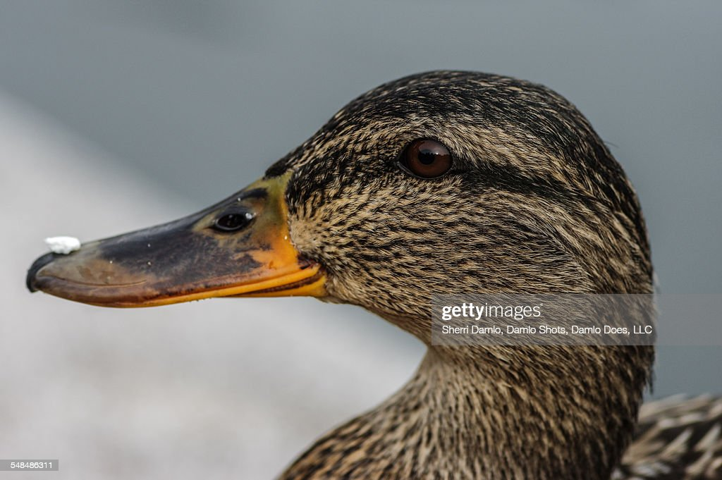 Mallard w/ food on its bill : Stock Photo