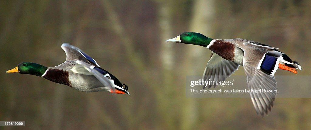 Mallards caught in Flight : Stock Photo