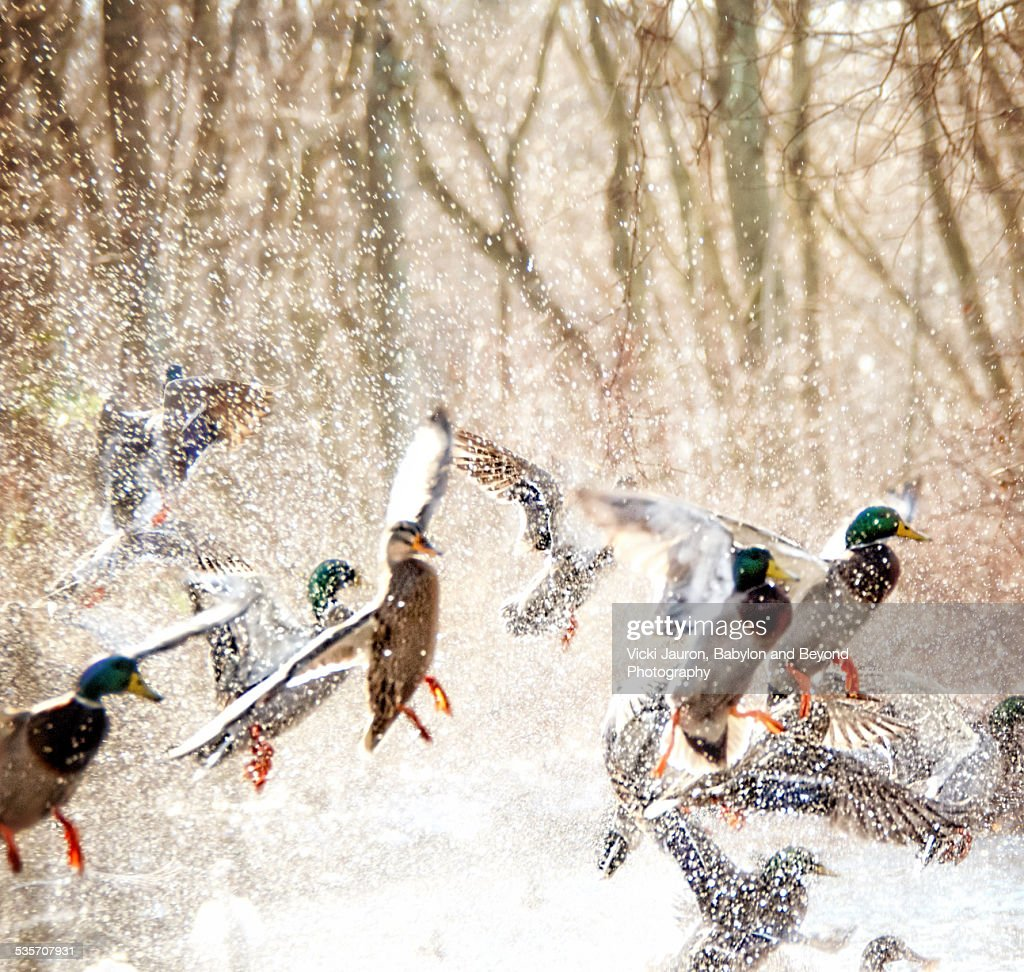 Mallards in Flight Against the Trees in Massapequa