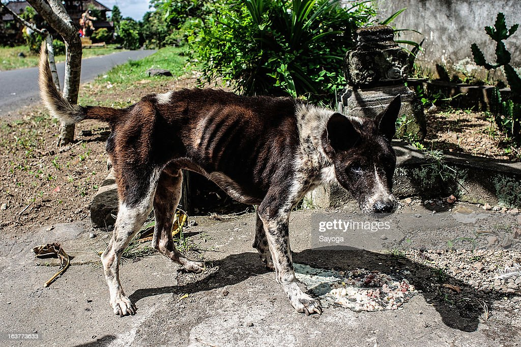 A malnourished dog is found in the street during a street feeding program by Bali Animal Welfare Association (BAWA) on March 15, 2013 in Ubud, Bali, Indonesia. According to data from the Bali Animal Welfare Association (BAWA), the dog population in Bali is approximately 600,000. Many are reported to suffer from malnourishment and poor health.