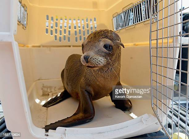A malnourished juvenile sea lion pup sits in a cage at White Point Park after getting rescued by Peter Wallerstein of Marine Animal Rescue on April 5...