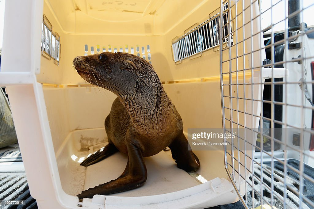 A malnourished juvenile sea lion pup sits in a cage at White Point Park after getting rescued by Peter Wallerstein of Marine Animal Rescue on April 5, 2013 in the San Pedro area of Los Angeles, California. The sea lion pup, which weighed only 25 pounds, was transported to Marine Mammal Care Center at Fort MacArthur for rehabilitation. All along the California coast, sea lions have been getting stranded in great numbers since January for reasons unknown. The National Oceanic and Atmospheric Adminstration estimates that in the first three months of 2013, more than 900 malnourished sea lions have been rescued in the region compared to 100 during the same time period one year ago. Officials have declared an 'unusual mortality event' for the California sea lion, a designation that prompts immediate federal response.