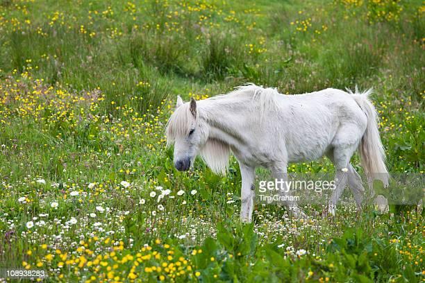 Malnourished thin and boney Connemara pony in Connemara County Galway