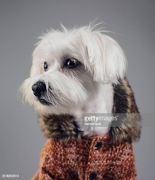 Maltese bichon dog portrait