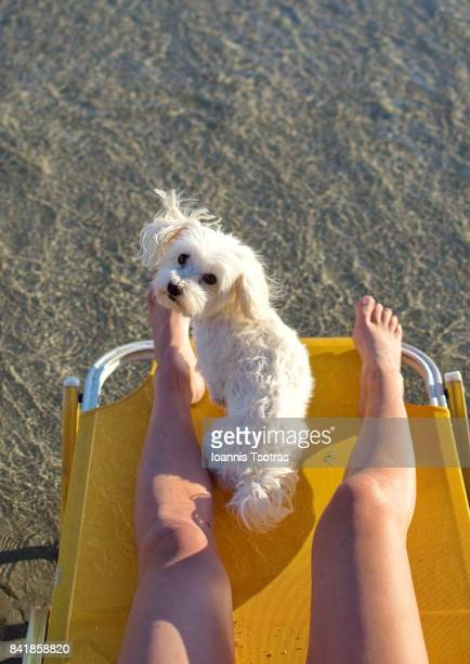 Maltese Dog at the beach staring at camera (rear view)