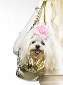 Maltese dog in purse