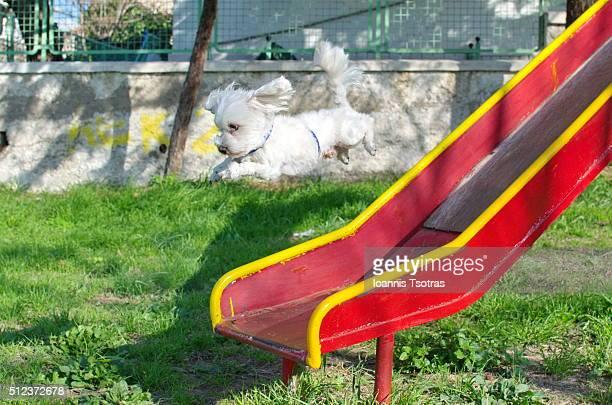 Maltese dog Jumping
