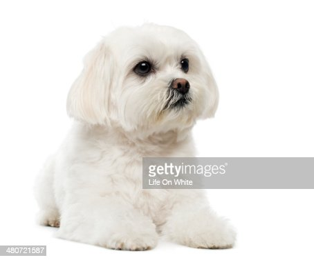 Maltese Puppy Dog Studio Collection Uk