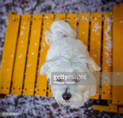 Maltese dog surrounded by apple blossom petals
