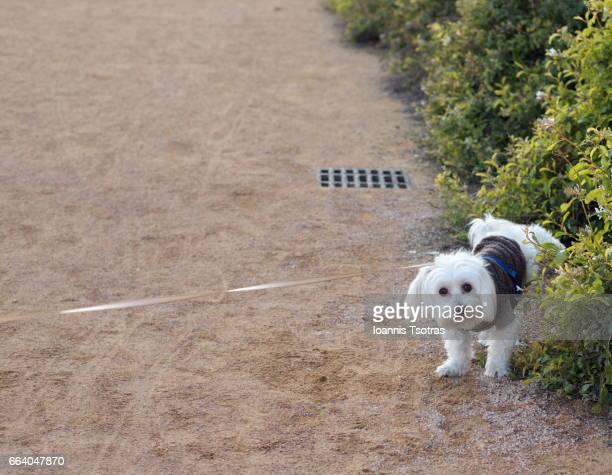 Maltese Dog Urinating On Plants