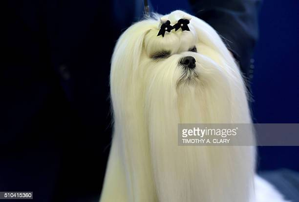 A Maltese is seen in the competiton area February 15 2016 in New York during the first day of competition at the Westminster Kennel Club 140th Annual...