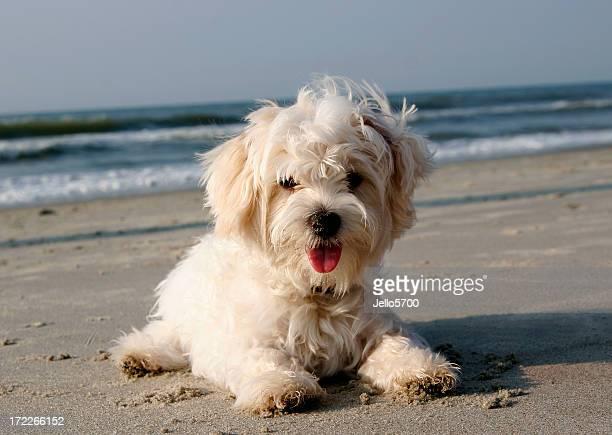 Maltese on the beach