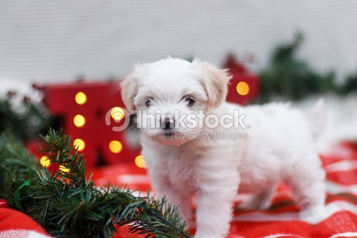 maltese shih tzu christmas puppy stock photo thinkstock