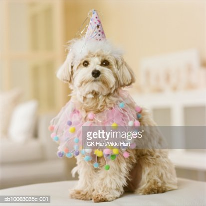 Maltese-Poodle mix breed dog wearing party hat, close-up : Stock Photo