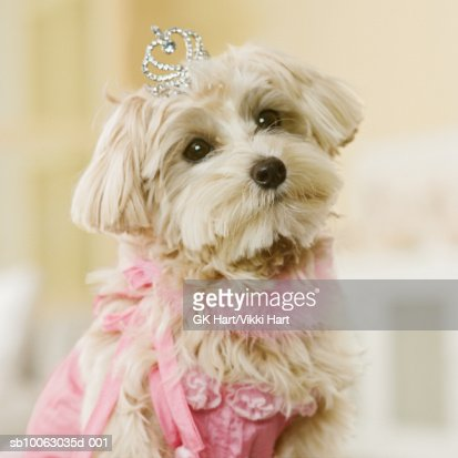 Maltese-Poodle mix breed dog wearing tiara and pink costume, close-up : Stock Photo