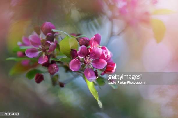 Malus × moerlandsii 'Profusion' Crab apple spring pink blossom