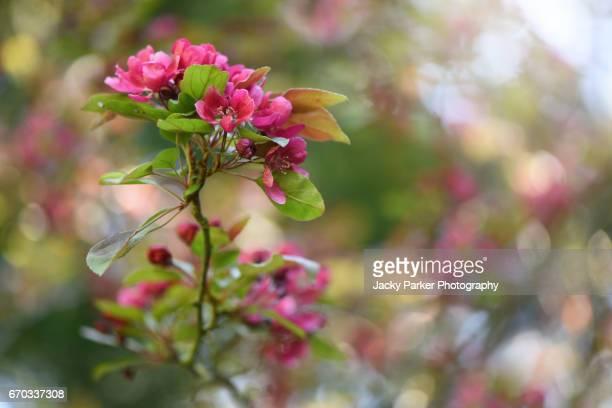 Malus × moerlandsii 'Profusion', Crab apple spring pink blossom
