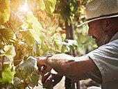 Malvasia grape harvest.