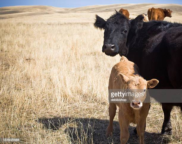 Mama Cow And Her Baby Calf