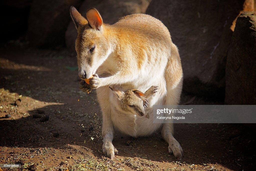 Mama kangaroo : Stock Photo