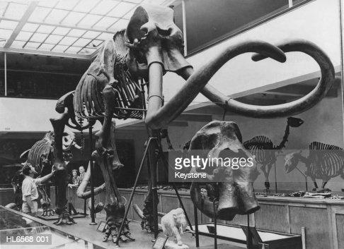Mammoth's Skeleton : Stock Photo