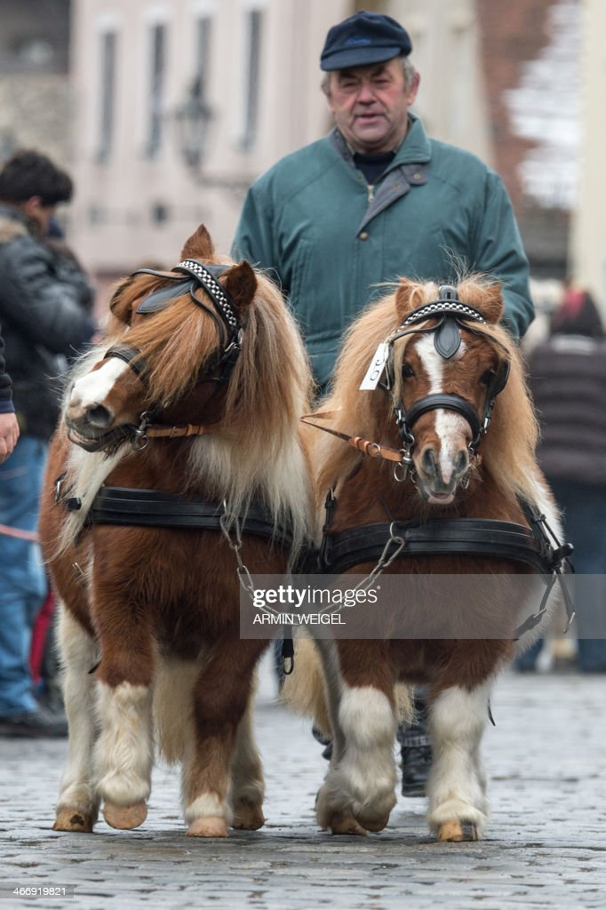 A man accompanies his ponies to the horse market in Berchingen, southern Germany, on February 5, 2014. More than 150 horses and teams of horses are displayed annually beginning of February in Berchingen. AFP PHOTO / DPA/ ARMIN WEIGEL GERMANY OUT